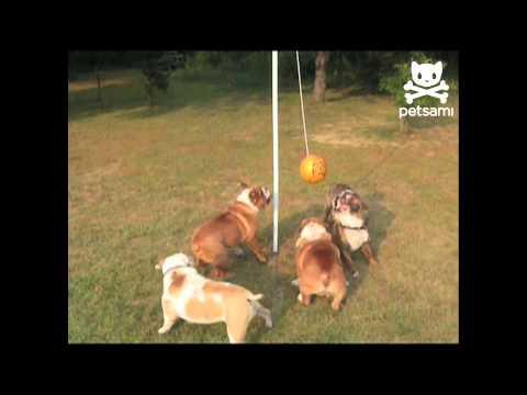 Piccoli Bulldog giocano a palla legata