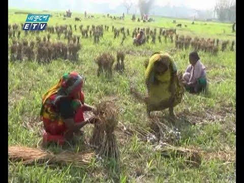 দিনাজপুরে প্রচুর রসুন চাষ হলেও ফলন কম (ভিডিও)