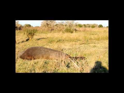 Verdwaalde zeeolifant gevonden bij boerderij in Argentinië