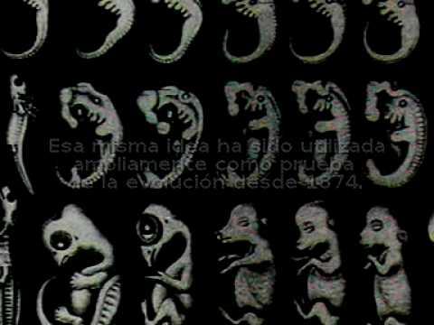 Pruebas de la evolución- Embriones de Haeckel
