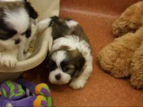 Shichon Puppy Playtime ~ MollyDogs