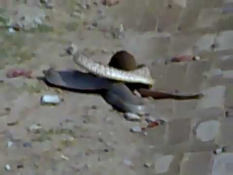 mongoose - Mongoose vs snake fight on Road most shocking video, snake & mongoose very dangarous, fights on road. mongoose real video. Mongoose (Herpestidae) are a famil...