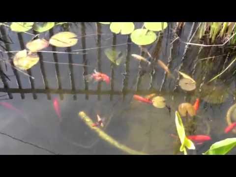 Carpas koi reproduccion videos videos relacionados con for Cria de peces ornamentales