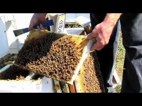 The extinction of bees and the making of honey
