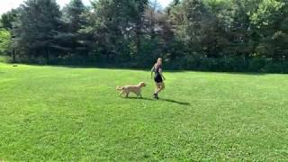 Suburban K9 Nashville Training a Golden Retriever