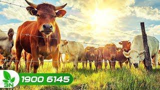 Nông nghiệp | Tiếp tục đổi mới ứng dụng tiến bộ kỹ thuật vào chăn nuôi
