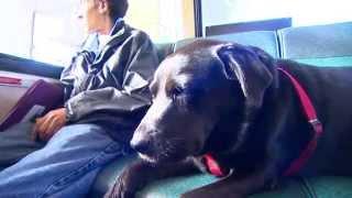 Cadela que pega ônibus sozinha para ir ao parque