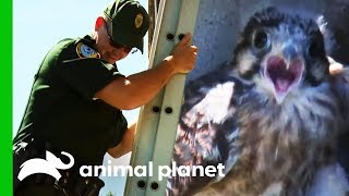 Baby Kestrel Rescued By Conservation Officer   North Woods Law by Animal Planet