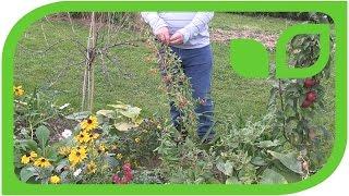 Gojibeere Instant Sucess als Zierpflanze