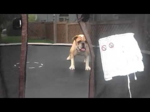 Bulldogge entdeckt Trampoline und ist irritiert xD
