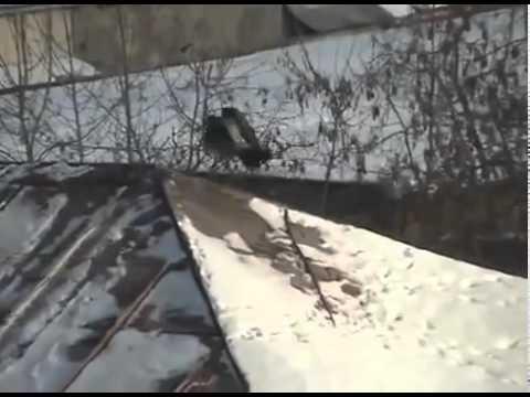 Kråka som åker snowboard