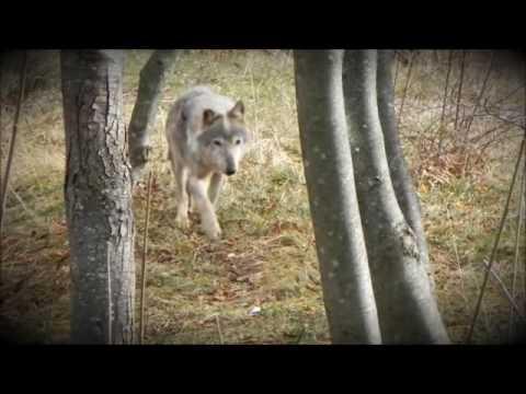 I lupi presenti nel Parco del Cilento, V.D.A. Uno studio ne indica l'aumento