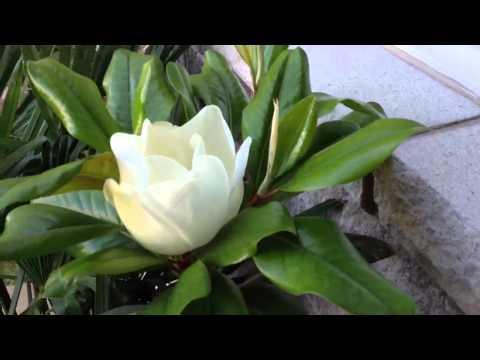 magnolia grandiflora – caratteristiche