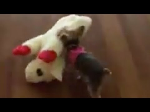 WAIT UNTIL you see How FAR This Yorkie Pup Takes This Toy that is LARGER than herself!!!