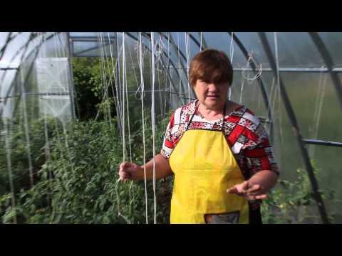 Защита томатов в теплице от фитофторы