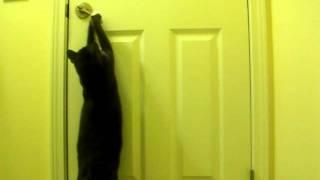 Кошка открывает дверь