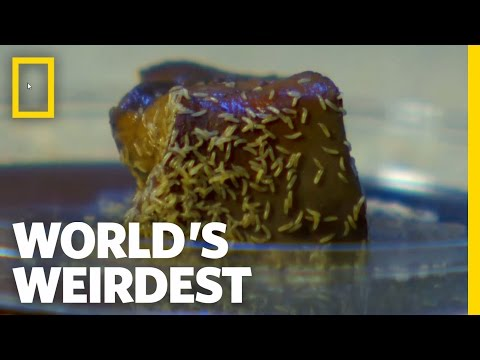 Maggot Mania | World's Weirdest