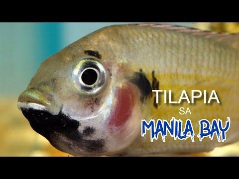 ANG MISTERYO NG TILAPIA SA MANILA BAY | Biwas Pilipinas