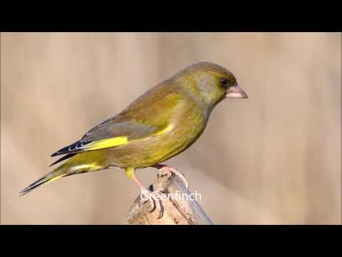 an analysis of the finch a passerine birds in the family fringillidae in changing food supply The beak of the finch: galapagos or 'darwin's finches ,' passerine songbirds in the in the islands he thought they were completely different birds.
