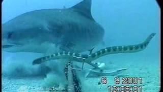 Shark Vs. Sea Snake