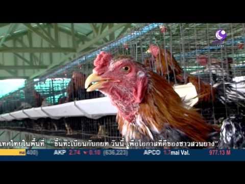 ไก่ที่ทานแล้วไม่เป็นเก๊าท์วัตถุดิบที่ใช้ประกอบอาหารปลายทางไลฟ์