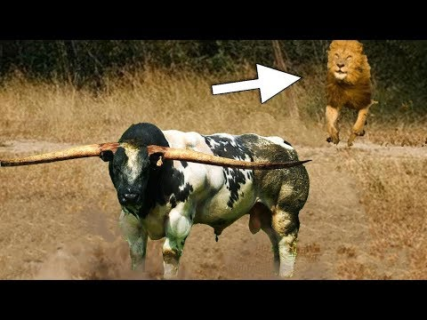 LİON vs BUFFALO Real Fight   Most Amazing Wild Animal Attacks Big Battle  Bear By Wlid Life Survive