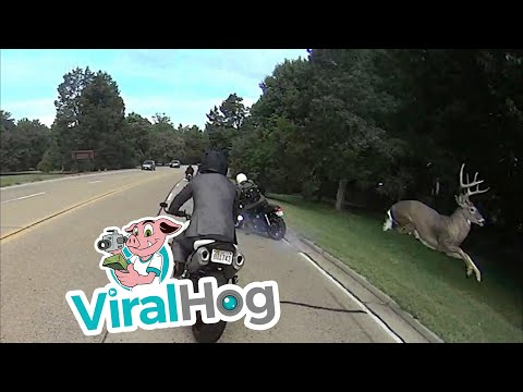Buck Takes Out Motorcyclist
