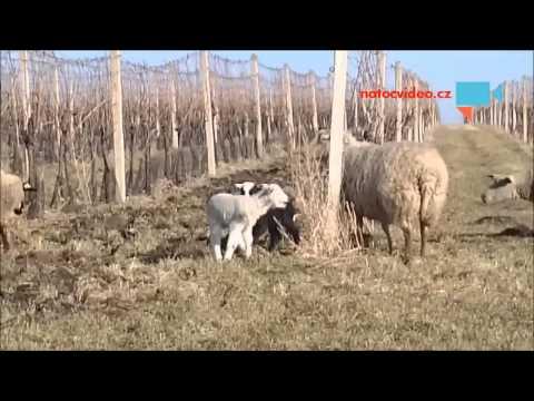 Ovečky ve vinohradě