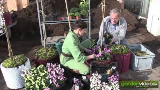 #238 Irish Primeroses - happy gardening
