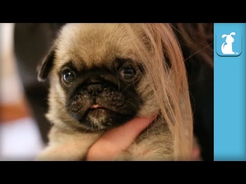 Cutest Pug Puppy Plays With My Hair – Puppy Love