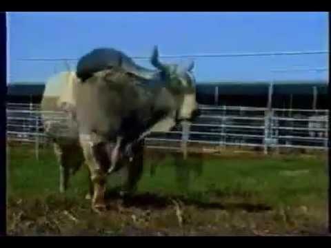 วัวชน รุ่นยักษ์ (ไอ้แสนพลัง)