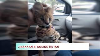 Download Video Cara Jinakkan Kucing Hutan MP3 3GP MP4
