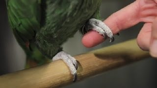 How Much Nail Should I Cut Off on My Parrots? : Exotic Pets