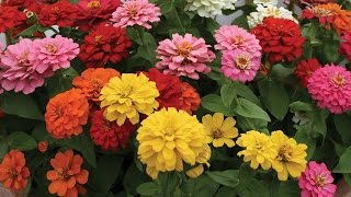 All About Zinnias