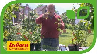 Wie kann ich Tomaten selber vermehren?
