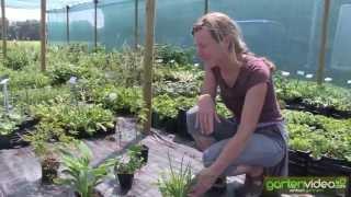 #1245 Stauden für schattigen Standort (Hosta, Carex, Aruncus, Astrantia, Aconitum)
