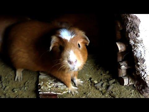 Peru VLOG 2 - Guinea Pig & Cusco