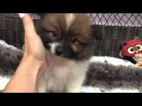 Vivacious & Inquisitive Pomeranian