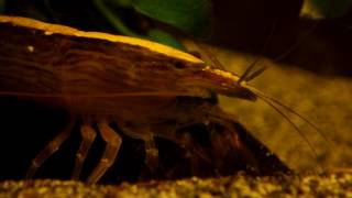 Atyopsis Moluccensis (bamboo shrimp)