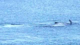 Binalong Bay Australia  City new picture : Whale Watching near Binnalong Bay, Tasmania, AUSTRALIA