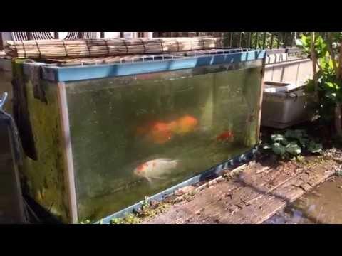 金魚 和金 コメット