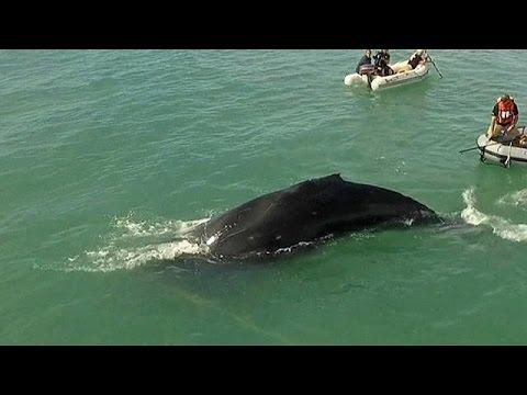 Μεξικό: Δραματική διάσωση φάλαινας που παγιδεύτηκε σε παράνομα δίχτυα