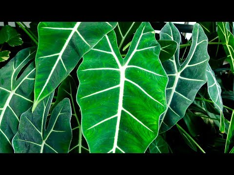 Алоказия — выращивание и уход