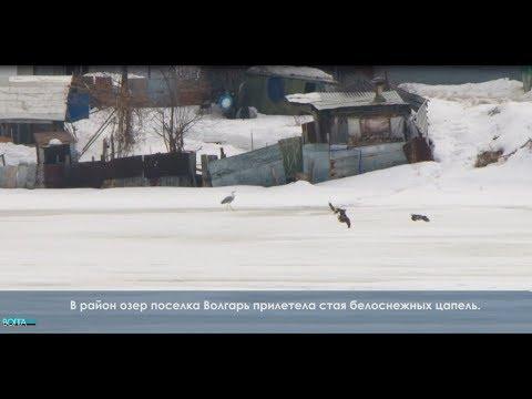 В Самару на покрытое льдом озеро прилетели сотни цапель
