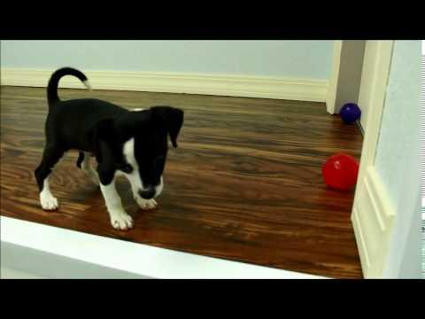Mack - Chihuahua - Q014066ELP