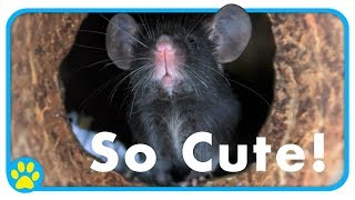 Meet Zinc | Our First Mouse | Zinc's Story by ErinsAnimals