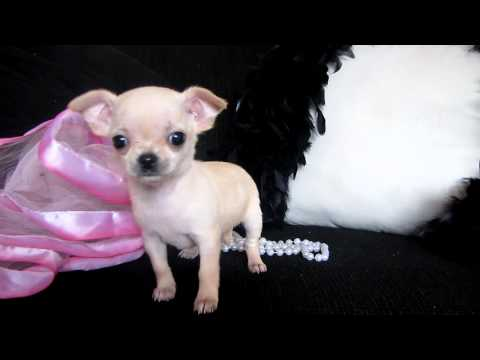 TIny Micro Teacup Chihuahua for sale at Puppy Elite Teacups