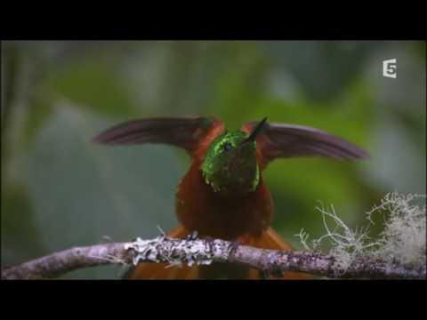 RECORD : Le coeur des Colibris bat à une vitesse incroyable