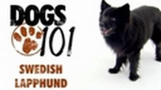 Dogs 101 - Swedish Lapphund