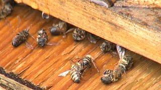 Zika-myggegift spredt fra luften dræber millioner af bier